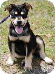 Husky/German Shepherd Dog Mix Puppy for adoption in Haverhill, Massachusetts - Zenith