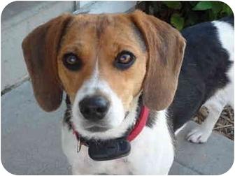 Beagle Dog for adoption in Covington, Kentucky - Molly