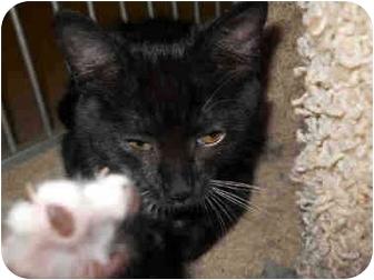 Domestic Mediumhair Kitten for adoption in San Clemente, California - STAR