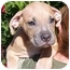 Photo 1 - American Pit Bull Terrier/Labrador Retriever Mix Puppy for adoption in El Segundo, California - Clem