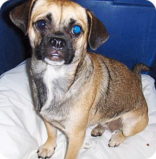 Pug/Dachshund Mix Dog for adoption in Chandler, Arizona - Prissy