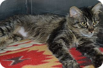 Maine Coon Cat for adoption in Elyria, Ohio - Holly