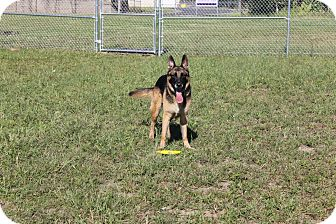German Shepherd Dog Dog for adoption in Dunkirk, New York - Smokey