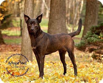 Labrador Retriever/Shepherd (Unknown Type) Mix Dog for adoption in Mansfield, Ohio - Apollo