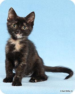 Domestic Shorthair Kitten for adoption in Las Vegas, Nevada - Java