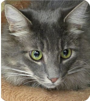 Domestic Longhair Cat for adoption in San Leandro, California - Cole