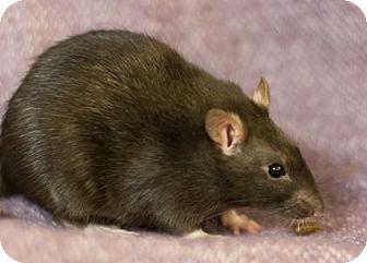 Rat for adoption in Lowell, Massachusetts - Rossi