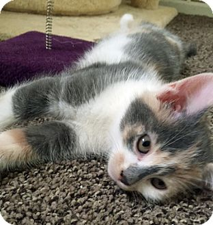 Domestic Shorthair Kitten for adoption in Troy, Michigan - Callie