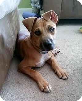 Hound (Unknown Type) Mix Puppy for adoption in Jacksonville, Florida - Dino