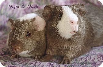 Guinea Pig for adoption in Santa Barbara, California - Nigel & Noah