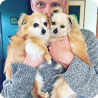 Pomeranian/Chihuahua Mix Dog for adoption in Los Angeles, California - Loretta and Phyllis