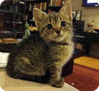 Domestic Shorthair Kitten for adoption in Gaithersburg, Maryland - Yesenia