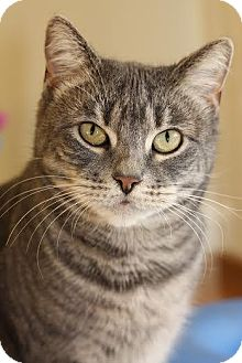 Domestic Shorthair Cat for adoption in Frankfort, Illinois - Meeka - At Adoption Center