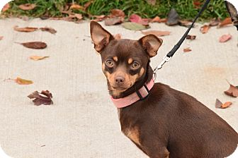 Chihuahua Mix Dog for adoption in Meridian, Idaho - Cher