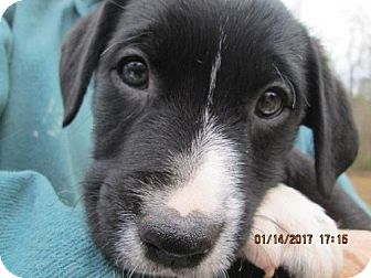 Labrador Retriever/Pointer Mix Puppy for adoption in Lincolndale, New York - MERLE