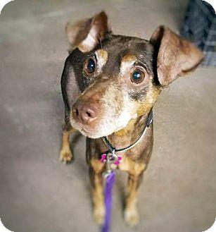 Miniature Pinscher Mix Dog for adoption in West Bloomfield, Michigan - Jasper - Adopted!