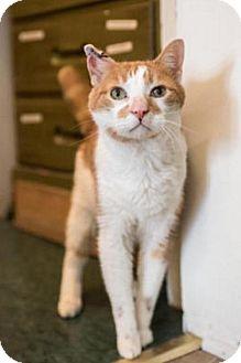 Domestic Shorthair Cat for adoption in East Norriton, Pennsylvania - Fogo