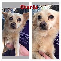 Adopt A Pet :: Charlie - North Brunswick, NJ