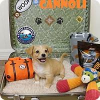 Adopt A Pet :: Cannoli - Arcadia, FL