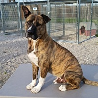 Shepherd (Unknown Type)/Boxer Mix Dog for adoption in Port Clinton, Ohio - SIMBA