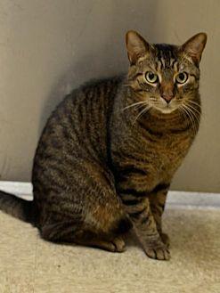 Domestic Shorthair Cat for adoption in Herndon, Virginia - Tanner