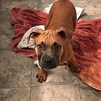 Adopt A Pet :: Big Ben - Lancaster, PA