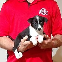 Adopt A Pet :: Babe - Gahanna, OH