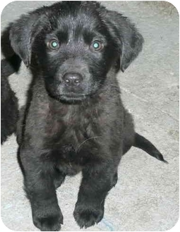 Labrador Retriever/Golden Retriever Mix Puppy for adoption in Chicago, Illinois - Dasher(ADOPTED!)