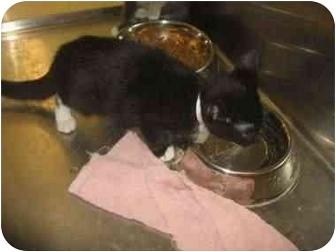 Domestic Shorthair Kitten for adoption in Norwalk, Connecticut - Baby Saske