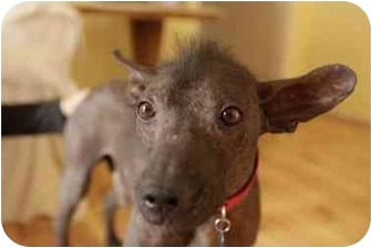 Xoloitzcuintle/Mexican Hairless Dog for adoption in Sherman Oaks, California - Aztec