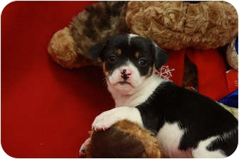 Rat Terrier/Terrier (Unknown Type, Small) Mix Puppy for adoption in Broomfield, Colorado - Tanqueray
