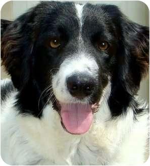 English Springer Spaniel Mix Dog for adoption in Pawling, New York - CODY**Helper**