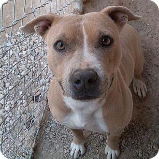 American Pit Bull Terrier Mix Dog for adoption in Las Vegas, Nevada - Honey Girl