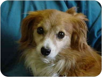 Papillon Dog for adoption in Mason City, Iowa - Fred