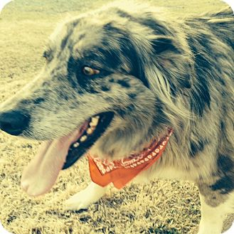 Catahoula Leopard Dog/Great Pyrenees Mix Dog for adoption in Brattleboro, Vermont - Lucy