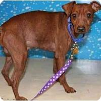 Adopt A Pet :: Napoleon - Gilbert, AZ