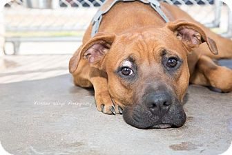 American Staffordshire Terrier/Boxer Mix Dog for adoption in Sierra Vista, Arizona - Lambeau