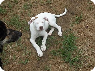 Pointer/Retriever (Unknown Type) Mix Puppy for adoption in East Hartford, Connecticut - spike in CT