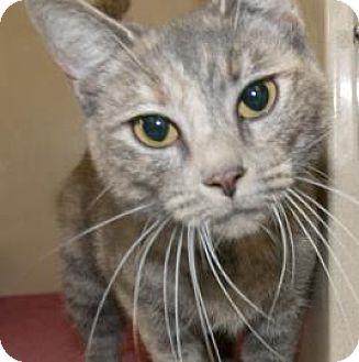 Domestic Shorthair Cat for adoption in Lincolnton, North Carolina - Lacie