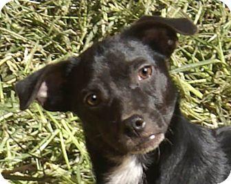 Dachshund Mix Dog for adoption in Staunton, Virginia - Charlie