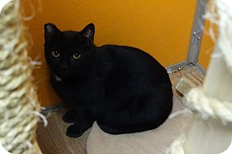 Domestic Shorthair Cat for adoption in Elyria, Ohio - Lazlo