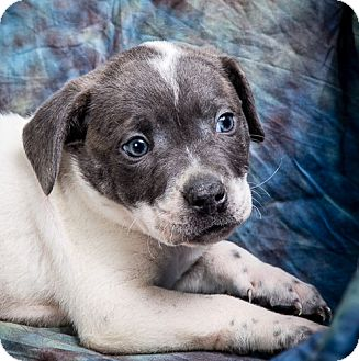 Pit Bull Terrier Mix Puppy for adoption in Anna, Illinois - NORMAN