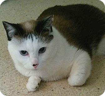 Colorpoint Shorthair Cat for adoption in Buhl, Idaho - Claire