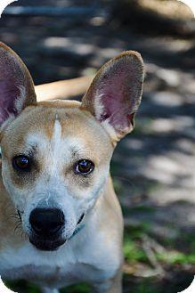 Shiba Inu Mix Dog for adoption in Bradenton, Florida - Butch
