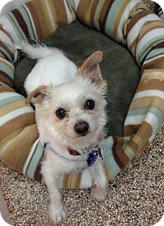 Maltese/Terrier (Unknown Type, Small) Mix Dog for adoption in Thousand Oaks, California - Forrest