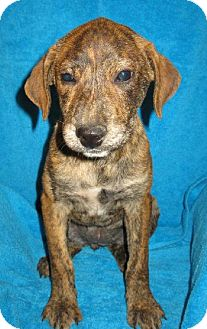 Catahoula Leopard Dog Mix Puppy for adoption in Von Ormy, Texas - Jenny