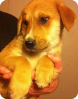 Australian Shepherd/Great Pyrenees Mix Puppy for adoption in SOUTHINGTON, Connecticut - Yogi