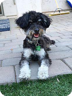 Yorkie, Yorkshire Terrier/Poodle (Standard) Mix Dog for adoption in Litchfield Park, Arizona - Herbie