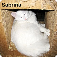 Domestic Longhair Cat for adoption in San Diego, California - Sabrina