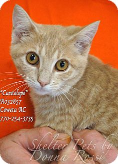 Domestic Shorthair Kitten for adoption in Newnan City, Georgia - Cantalope